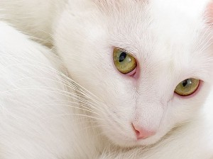 whitekitty