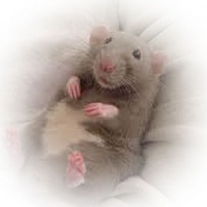 Rat-02