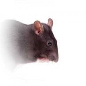 Rat-03