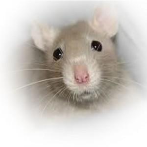Rat-04