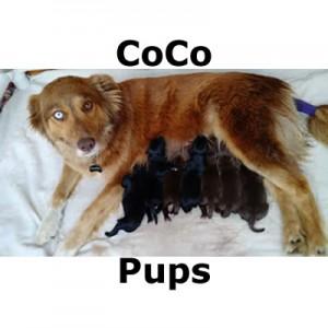 CoCoPups