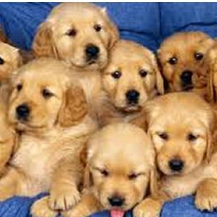 Puppy Socialization Human Socialization Period Thesocialpetnet