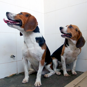 Hercules, at left, and Tiangou-gene-edited dogs